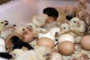 Выведение птенцов в домашних инкубаторах
