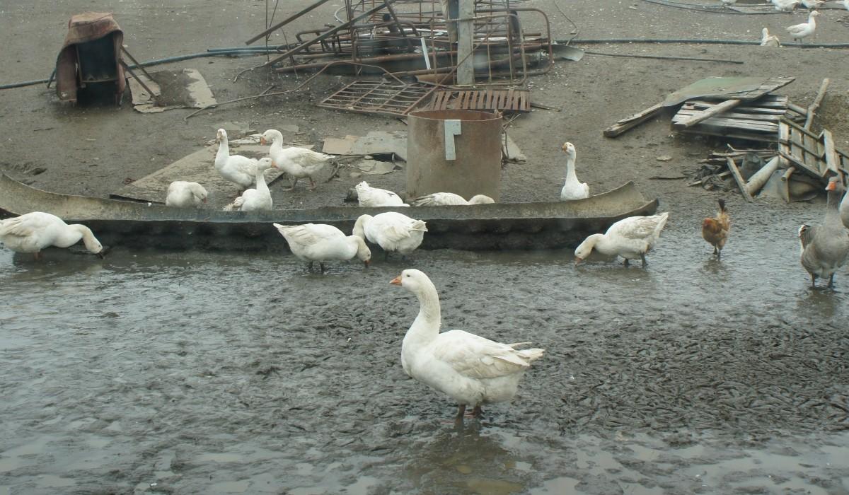 гусиная ферма под г Минеральные Воды