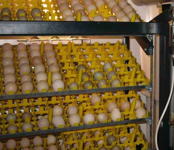 птенцы из инкубатора