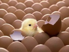 режимы инкубации яиц